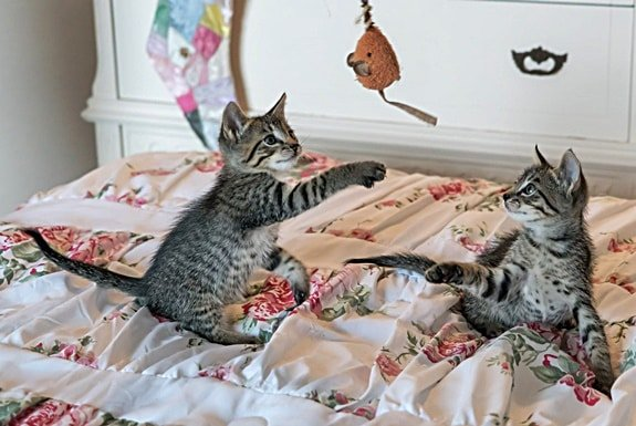 Grey and White Striped Twin Kittens Playing with a Mouse Toy on a Flowered Sheet on a Bed.