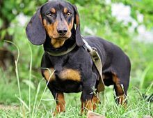 How to select Dog Carriers for Dachshunds