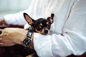 Chihuahuas pet carriers that are comfortable