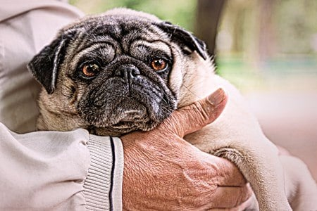 What is the Best Dog Carriers for Pugs?