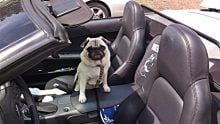 How to select a good travel carrier for pugs