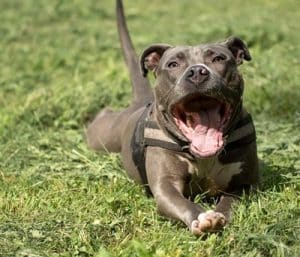 What is the best pet carrier for a Pit Bull Terrier?