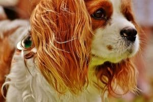 Cavalier King Charles Spaniel Dog Carriers for Comfortable Travel