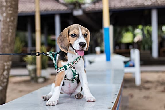 How to choose a pet carrier for a beagle
