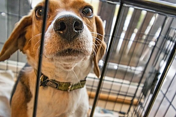 Friendly beagle poking his nose through the bars of a dog cage