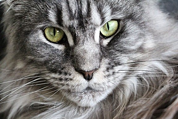 best pet carrier for a maine coon cat