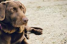 lethargic dog with labored breathing