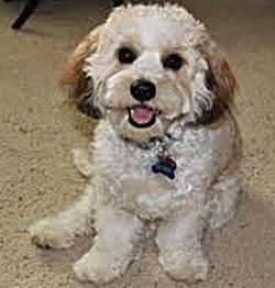 hypoallergenic dog mixes