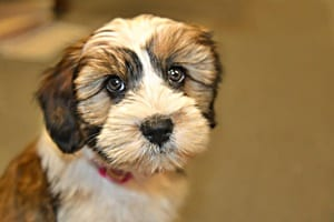 What makes a hypoallergenic dog?
