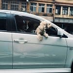 dog car sickness