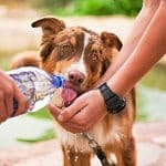 dog drinking a lot of water and throwing up