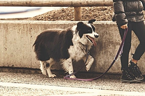dog pulls on leash tried everything