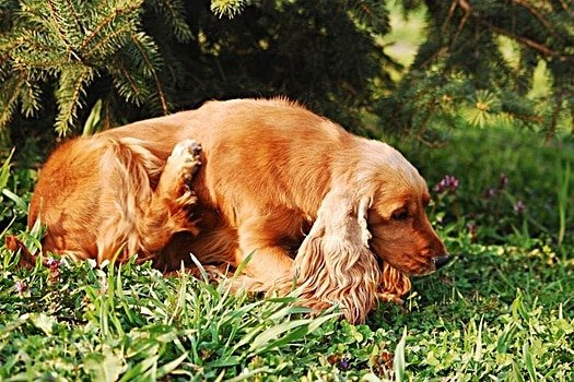 What are the signs of dog fleas?