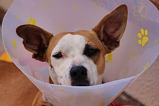 dog ear bleeding from scratching