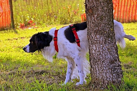 how often should a dog pee?