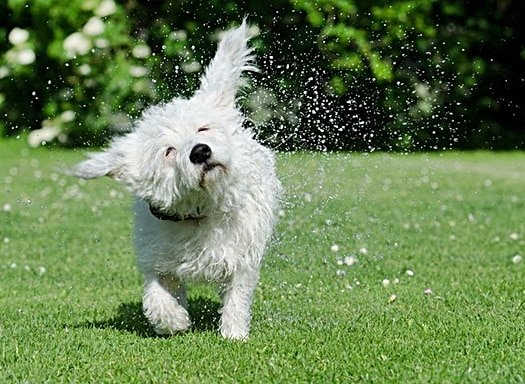dogs shakes water off fur