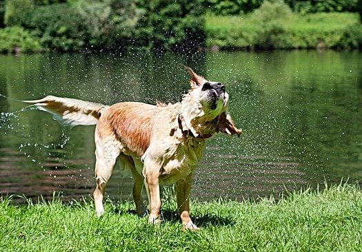 why do dogs shake when wet?