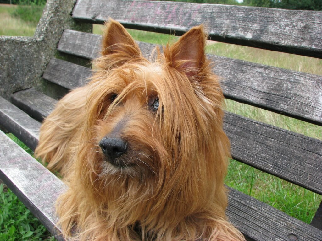 Dogs That Can Fly in Cabin Australian Terrier