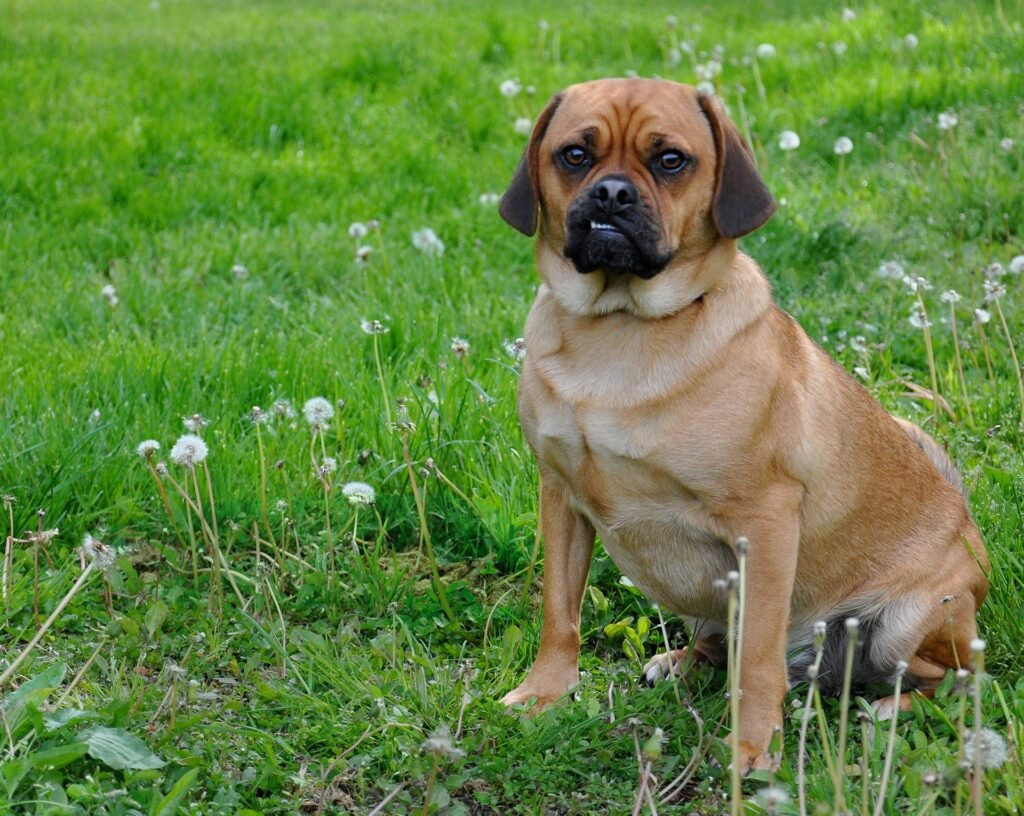 best Mixed Breed Apartment Dogs Puggle