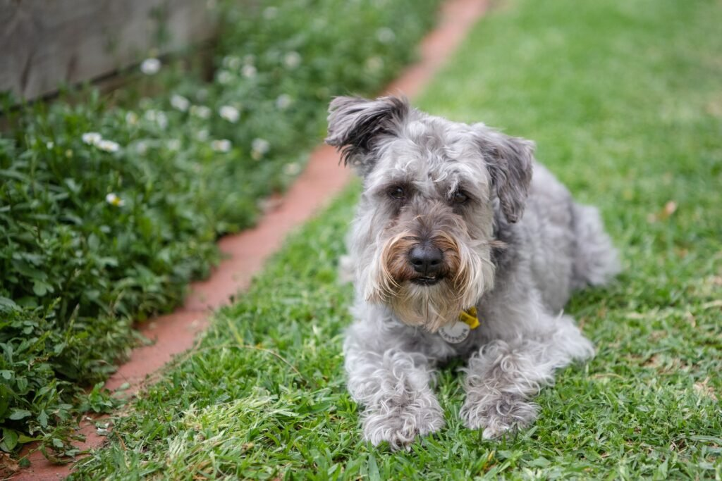 best Mixed Breed Apartment Dogs Schnoodle
