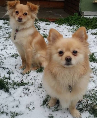 best Mixed Breed Apartment Dogs Pomchi