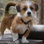 best Mixed Breed Apartment Dogs Schorgi
