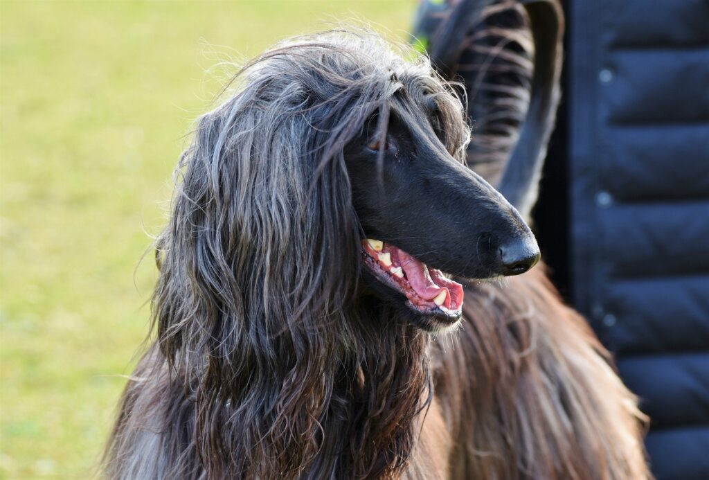 Big Dogs for Apartments Afghan Hound