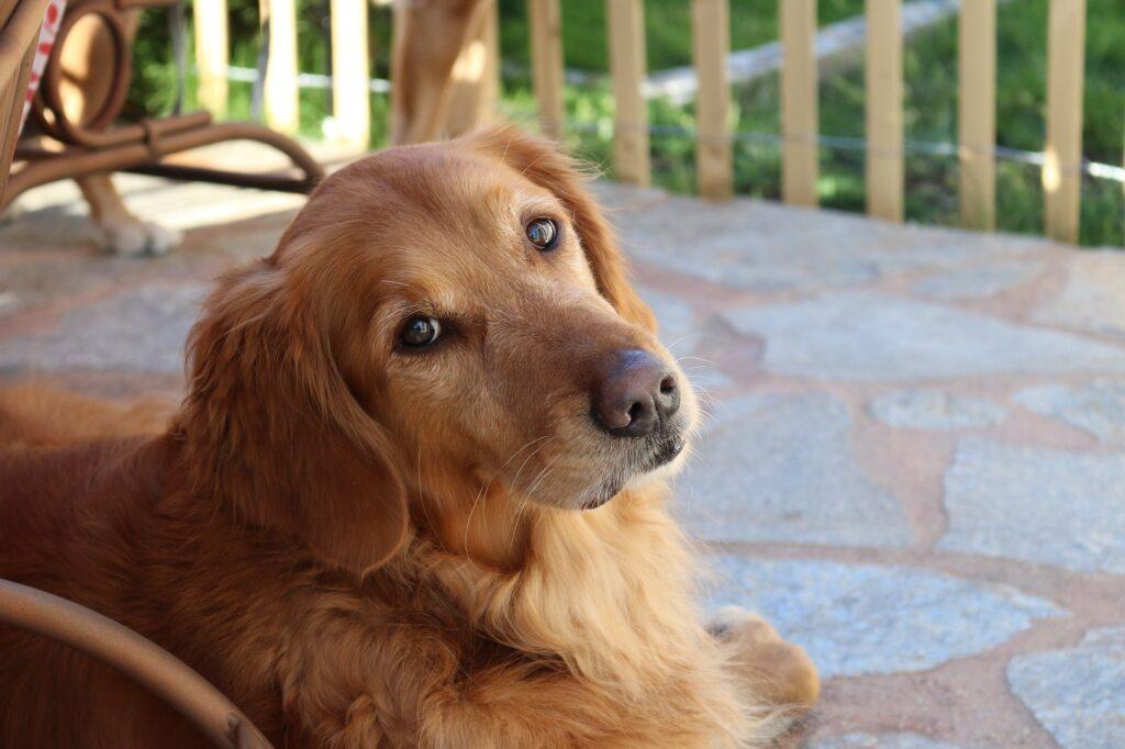 Big Dogs for Apartments Golden Retriever