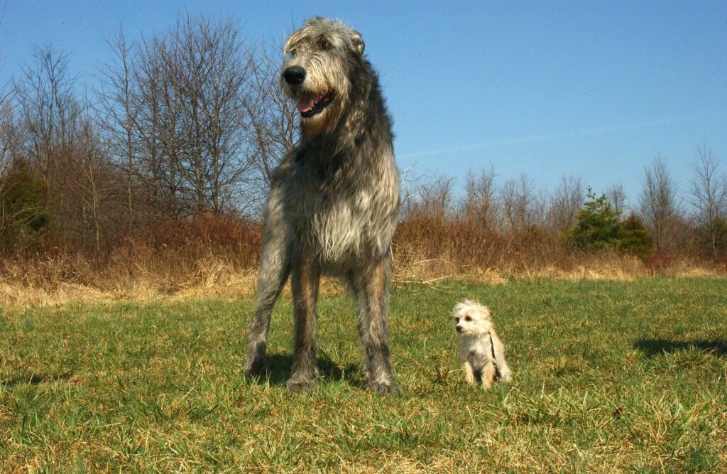 Big Dogs for Apartments Irish Wolfhound