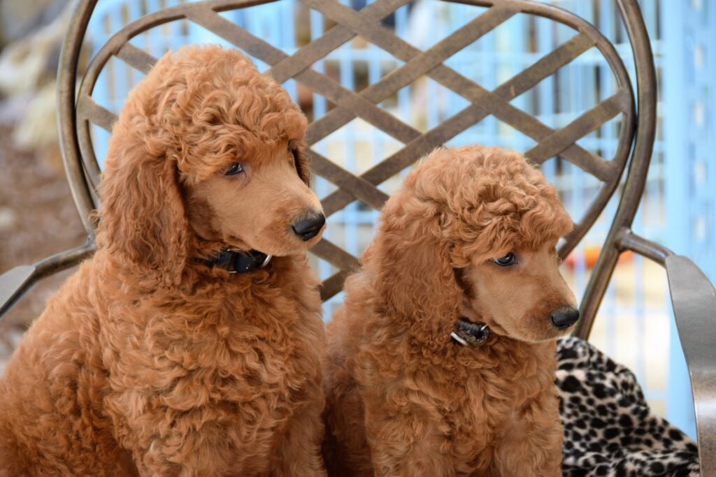 Big Dogs for Apartments Poodle