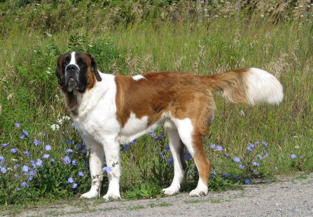 Big Dogs for Apartments Saint Bernard