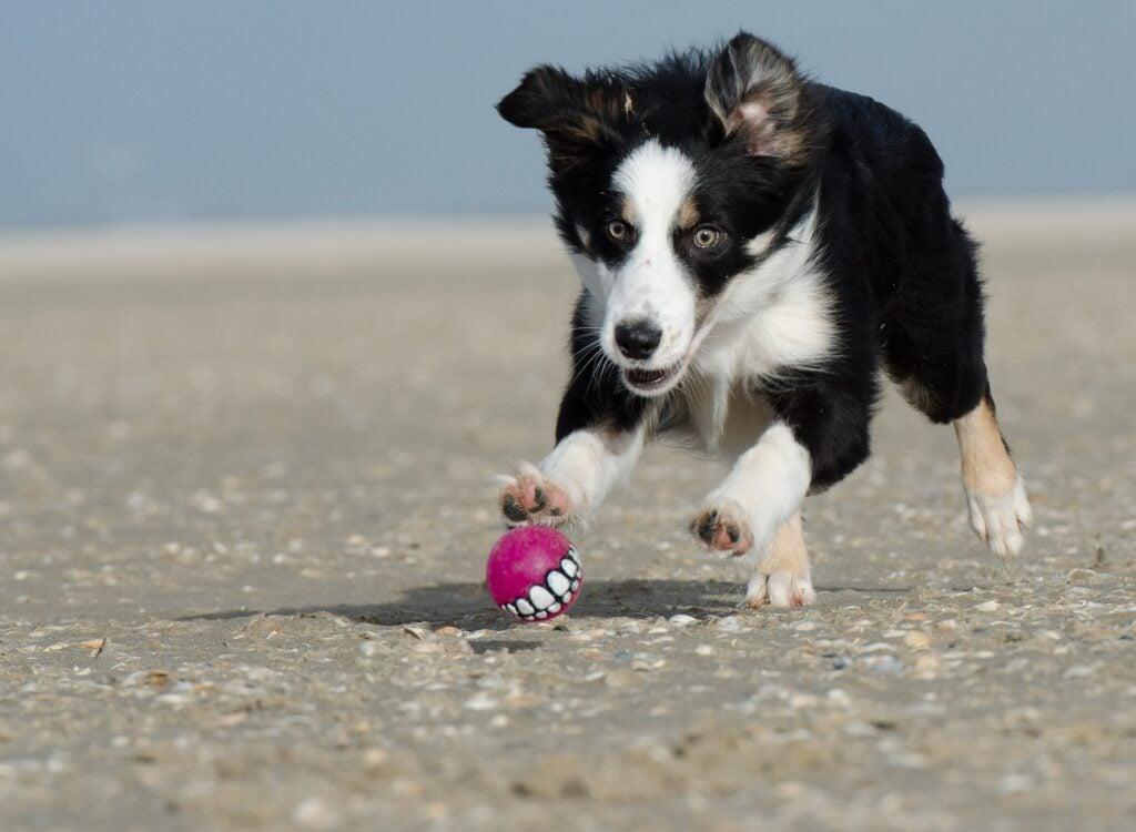 Best RV Dogs, Border Collie