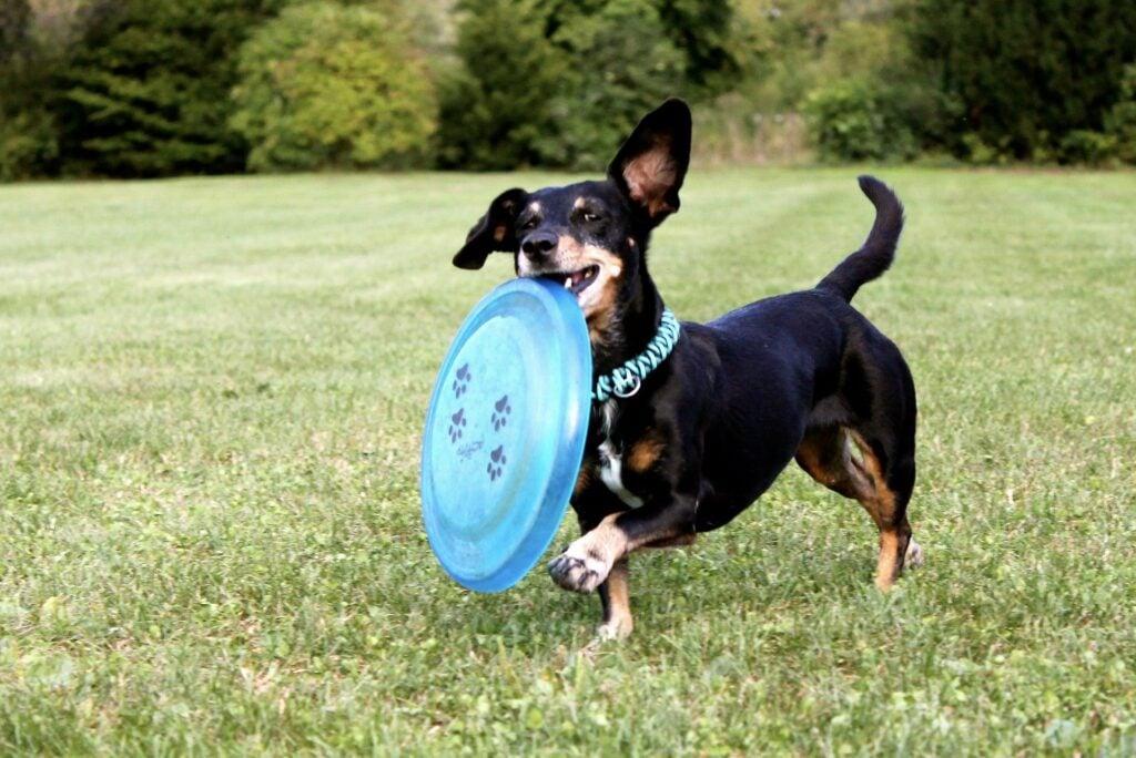 Best RV Dogs, Dachshund