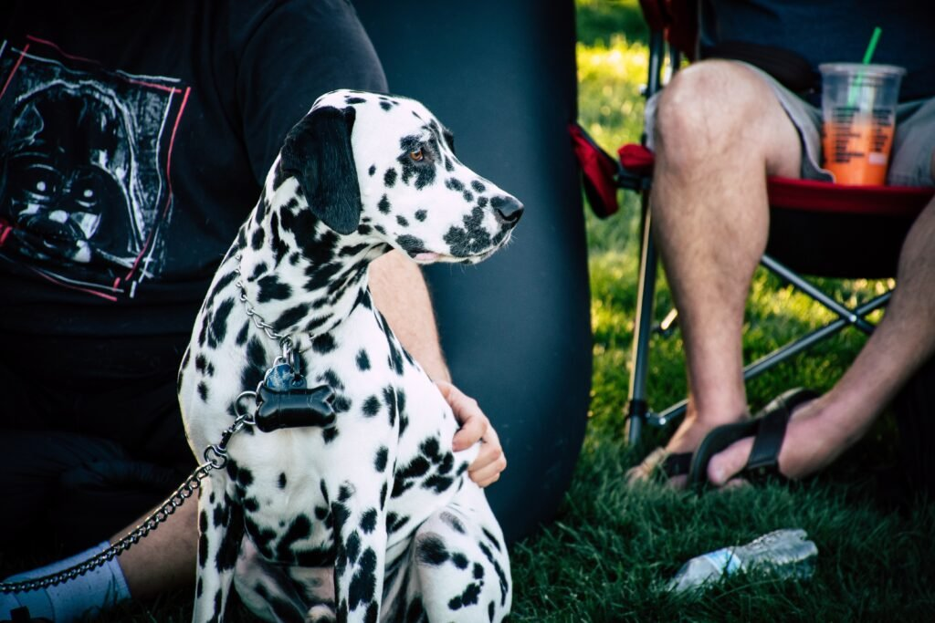Best RV Dogs, Dalmatian