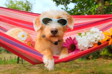 Light brown terrier wearing light blue sunglasses resting in pink, purple striped hammock with Summer hat and spring flowers