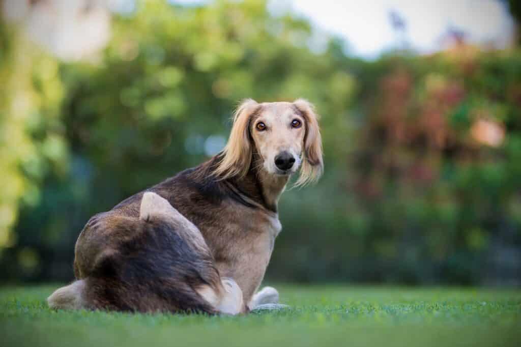 Apartment Dog Greyhound
