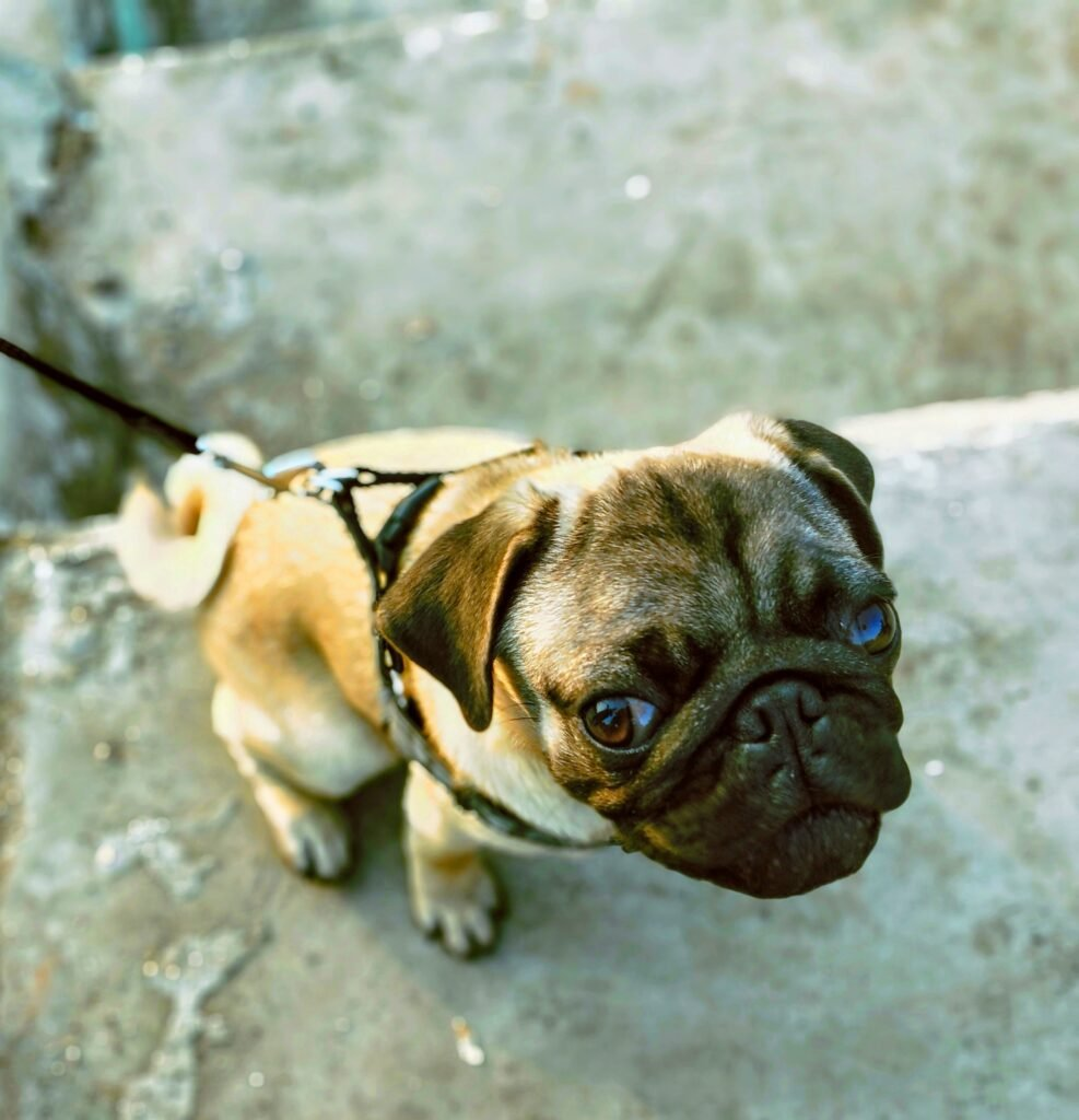 Small brown Pug Dog with flat black face and white curly tail Straining on Leash
