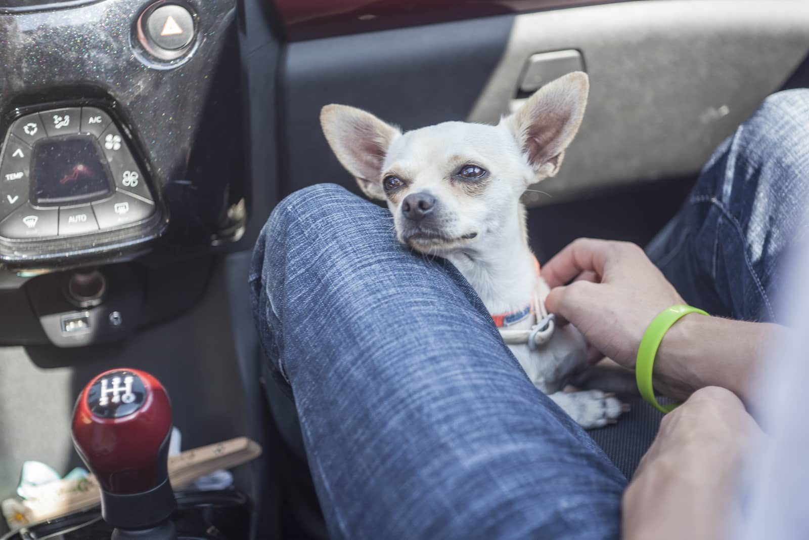 White chihuahua on floor on passenger side of stick shift car leaning on seal and knee of mail passenger who is wearing jeans and has a green bracelet.