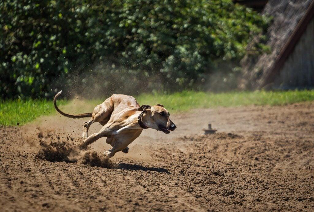 greyhound apartment dog exercise