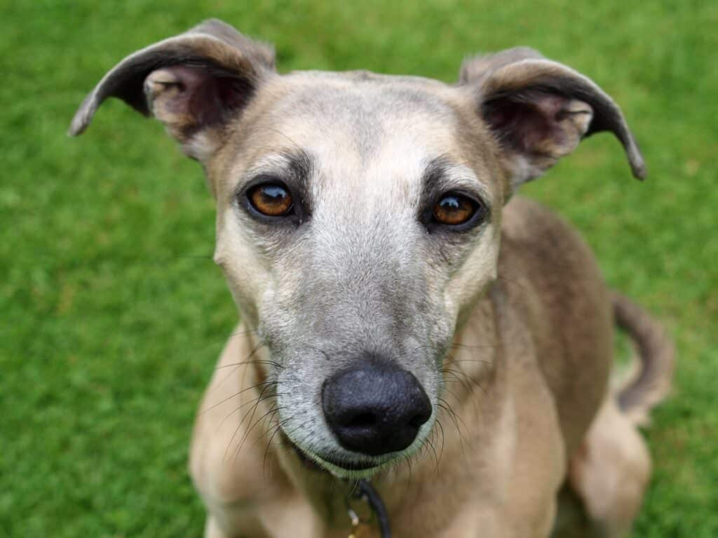 greyhounds and apartments