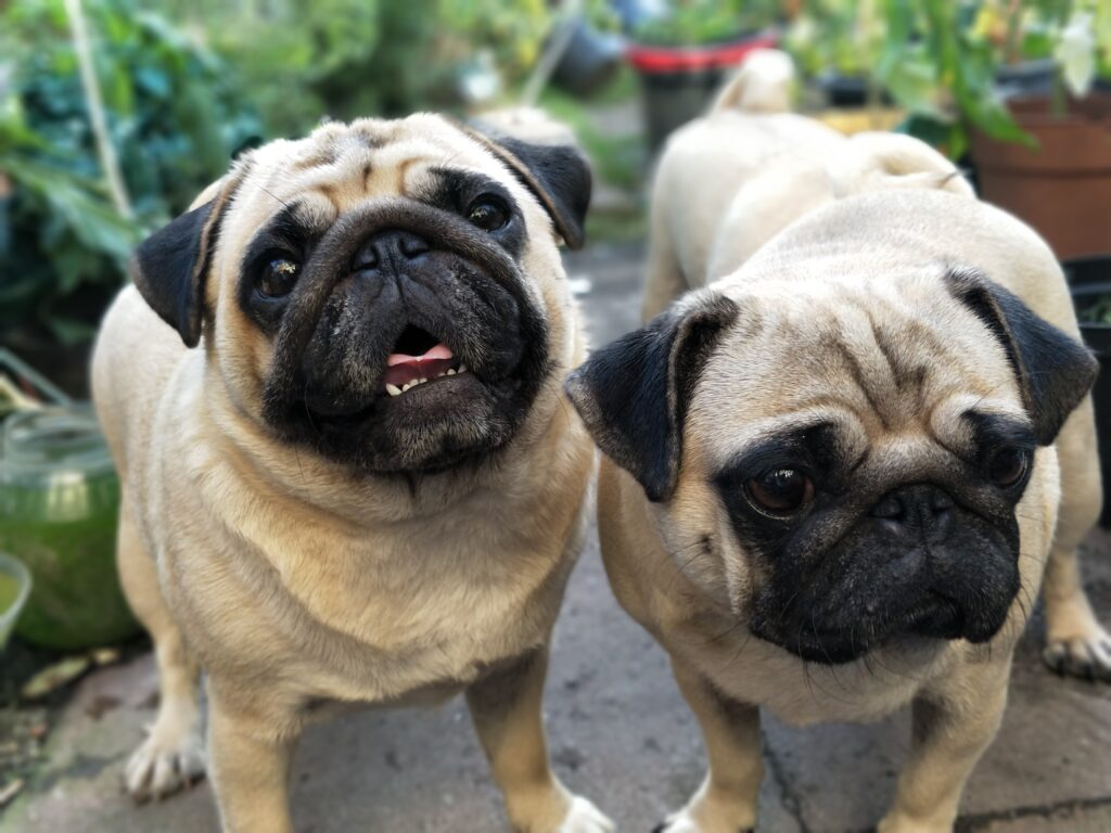 Two light brown pugs with black faces standing.  Potted plants in background.  One dog looks at camera, one to side.