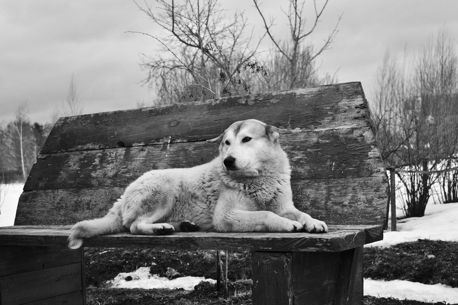 Husky laying on rustic wooden park bench. Snow on ground. Bare trees. Desolate. Black and White photo