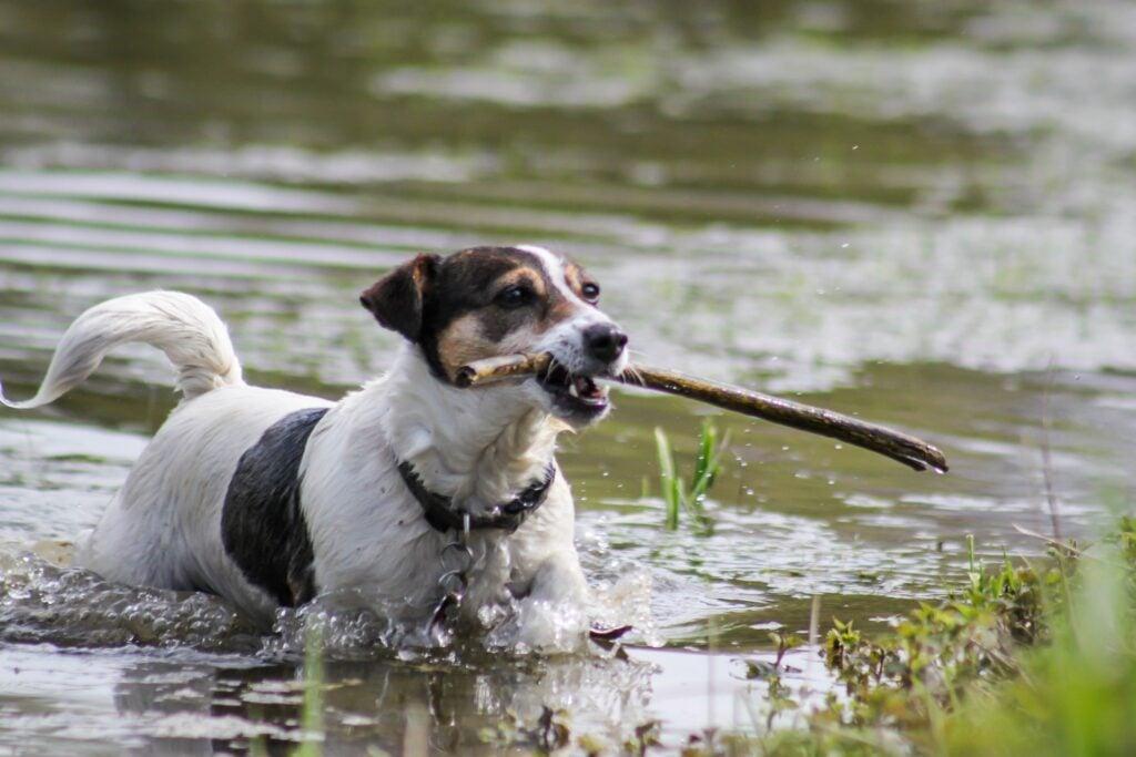 Best RV Dogs, Jack Russel Terrier