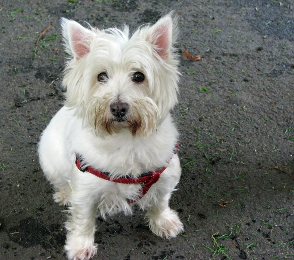 Dogs That Can Fly in Cabin West Highland White Terrier