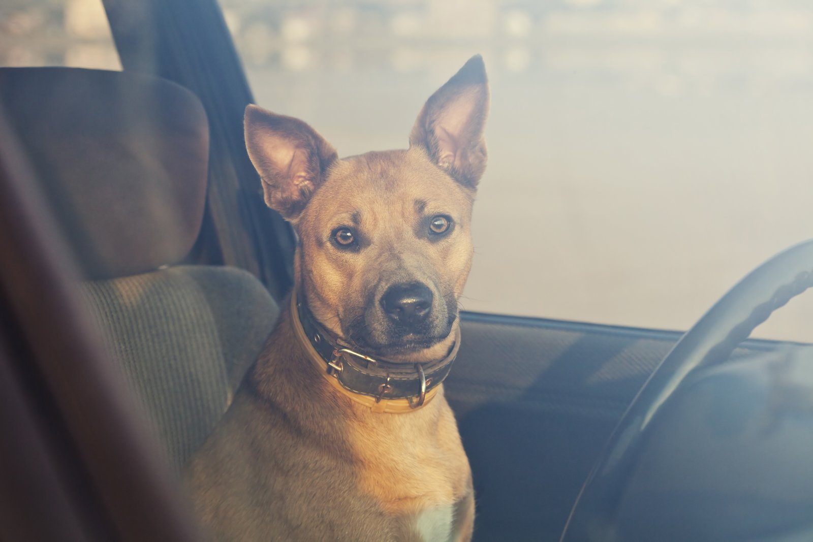 A brown dog with alert ears sitting in the passenger seat of a car, behind the steering wheel