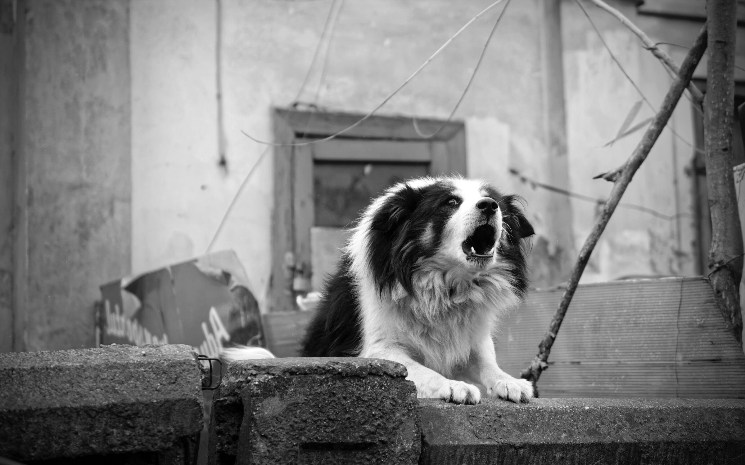 Black and White photo. Barking furry collie dog with front paws on cement wall. Old apartment building exterior in background.