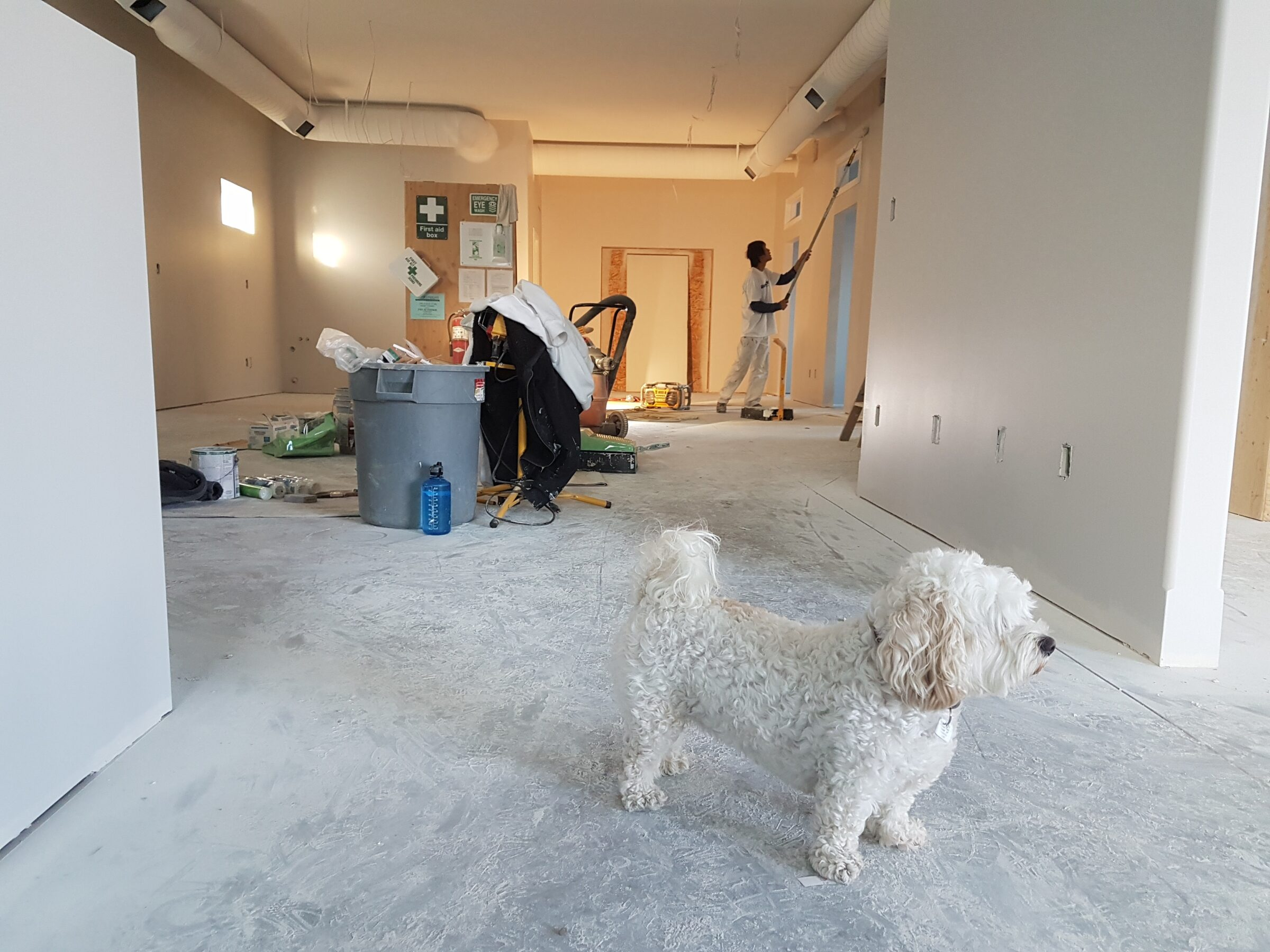 White miniature poodle in foreground of large empty apartment renovation. Mam painting walls. Dusty Unfinished Floor.