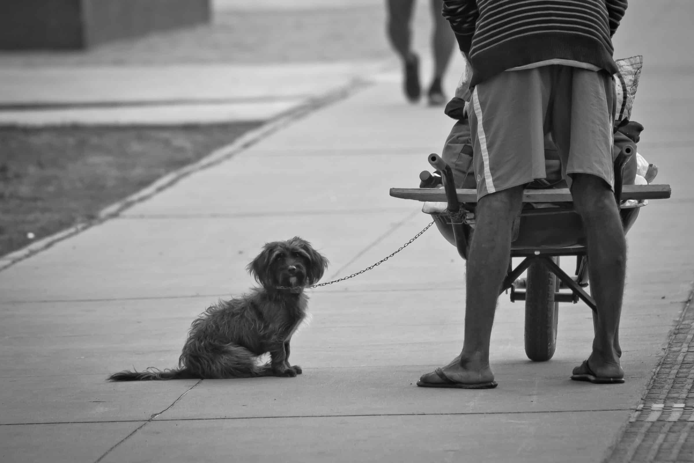 Small dog chained to loaded wheelbarrow sits on sidewalk and looks at us. Man in sandals with back towards us.