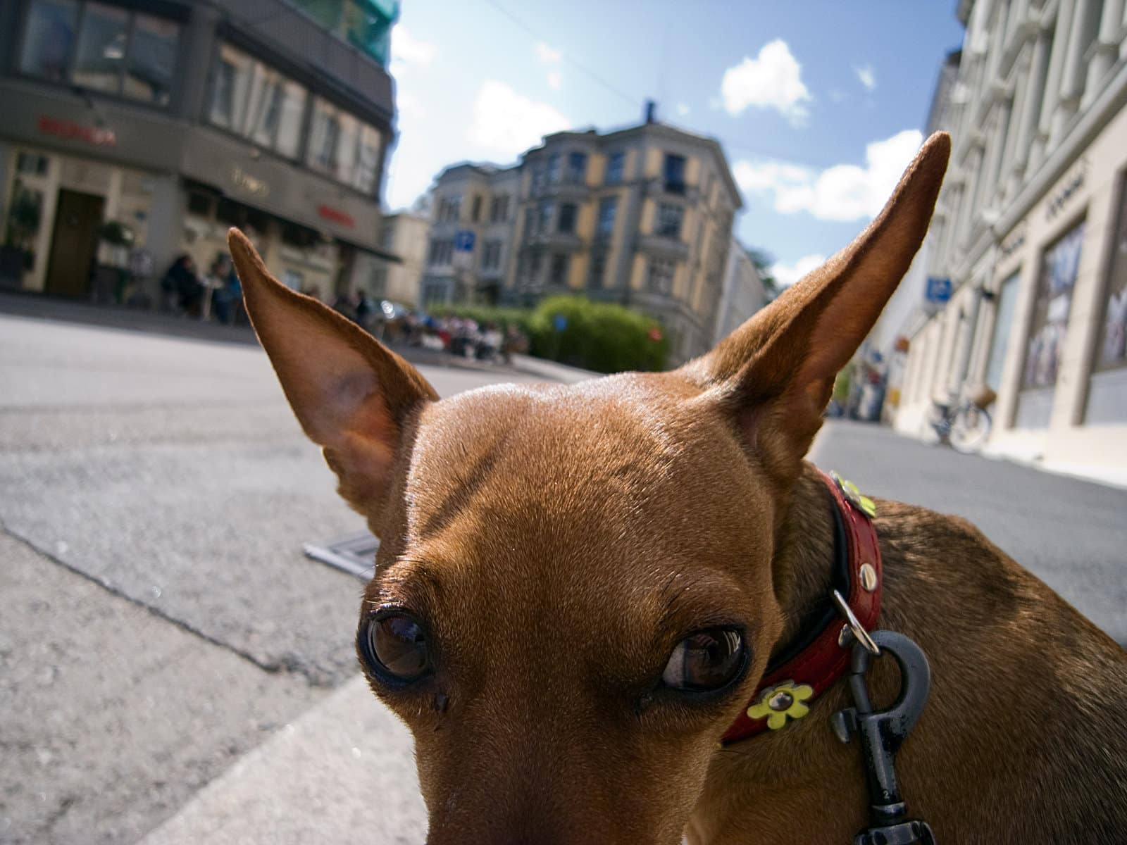 Short hair brown dog pointy ears and red collar with daisies standing in empty street in town.