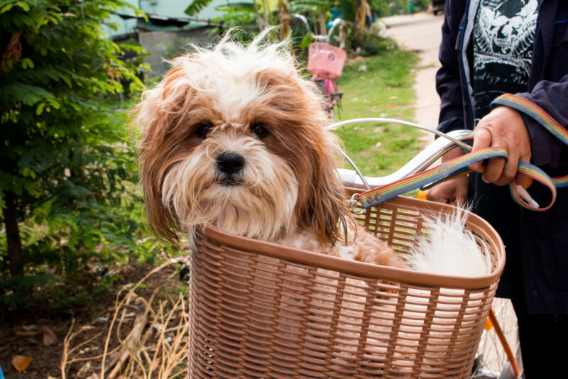 Schnauzer mutt with long unkempt fur in wicker bicycle basket with rainbow leash. Grass and sidewalk. Pink bike in background